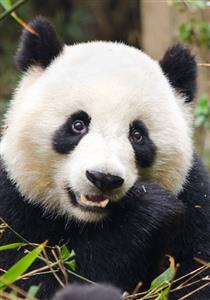 Giant Panda Breeding and Research Center