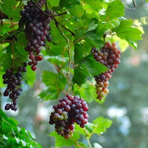 Xuanhua Seedless Grape