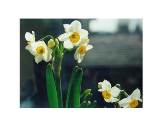 Putuoshan Narcissus