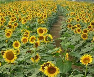Millions of Sunflowers Garden