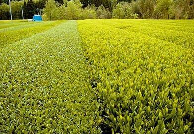 Laoshan Yunfeng Tea
