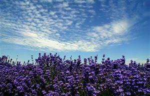 Huocheng County Lavender Planting Base
