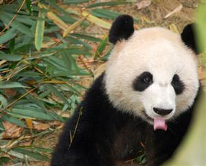 Giant Panda Versus Red Panda