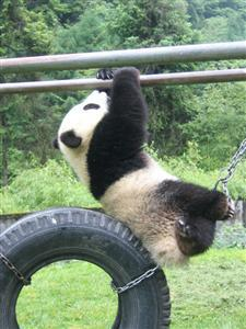 Bare Facts of Giant Panda