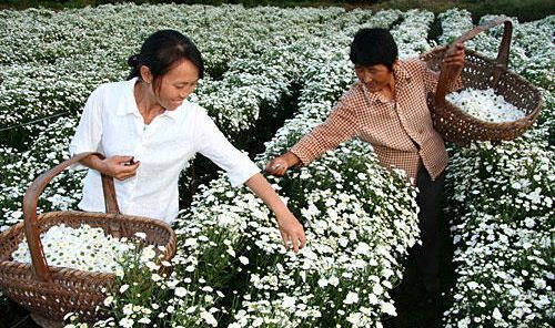 Huizhou Chrysanthemum