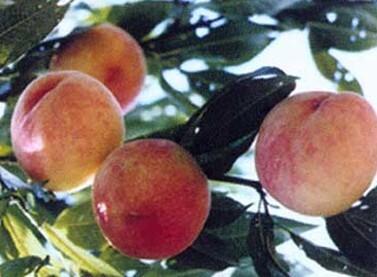 Fenghua Juicy Peach