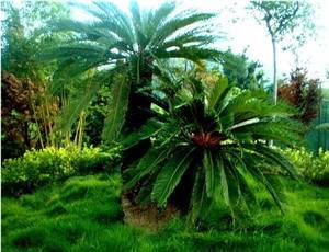 Natural Cycad Forest