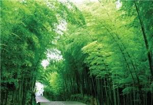Shunan Bamboo Sea