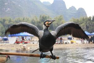Fishing with Cormorants in China