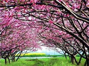 Peach Blossom Land