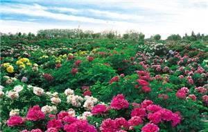 Caozhou Peony Garden