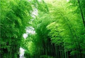 Xingxing Sea of Bamboo Scenic Spot
