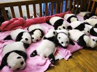5-Day Chengdu and Bifengxia Panda Breeding Center Volunteer Experience