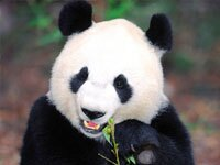 14-Day Lovely Holiday with Pandas