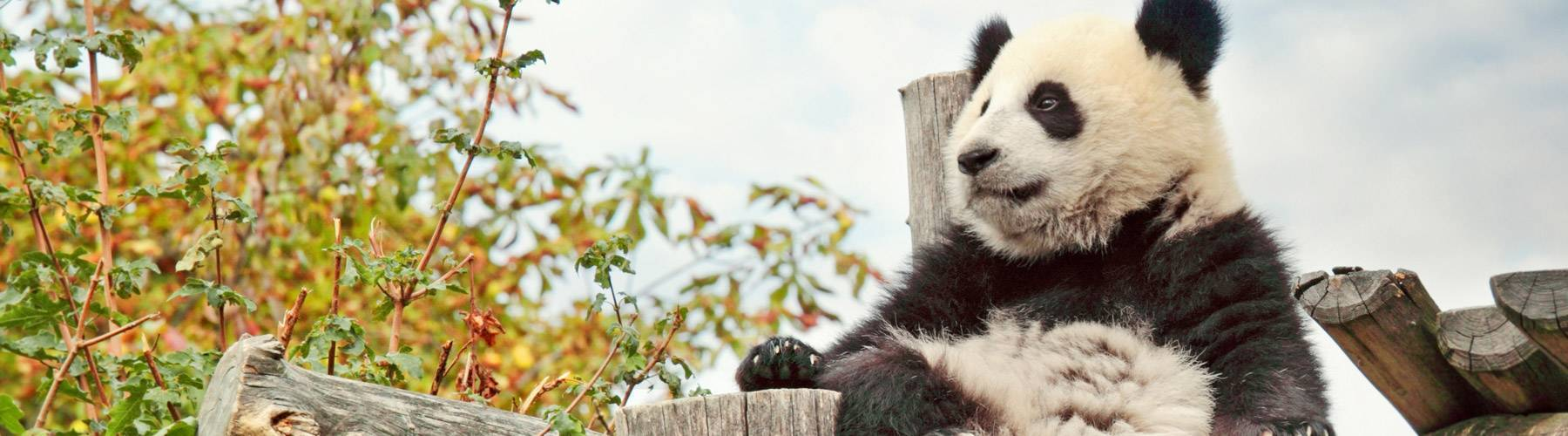 Know More about Giant Panda