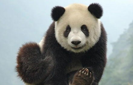 History of Giant Pandas
