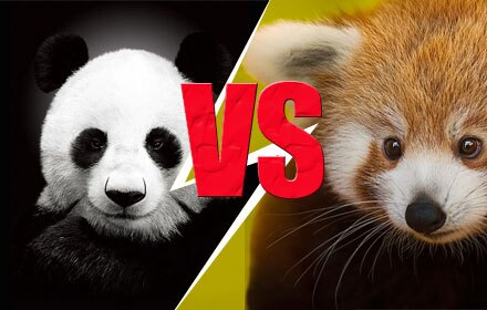 Giant Panda Versus Red Panda
