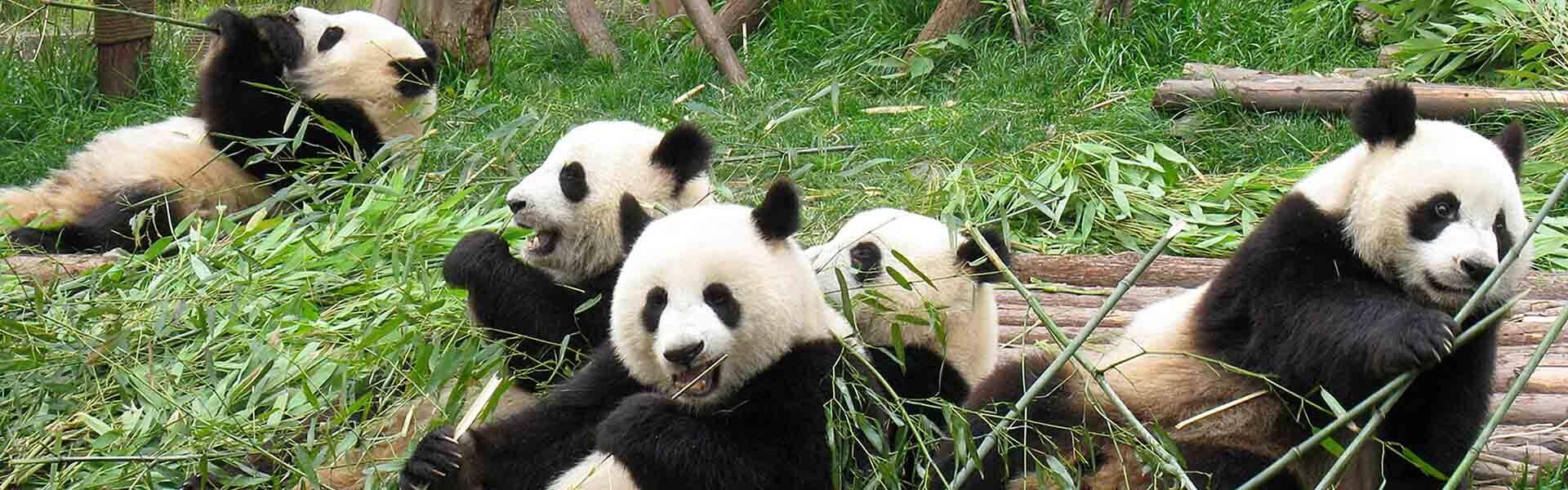 China Panda Tours