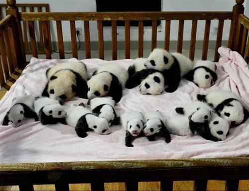14 Newborn Giant Pandas